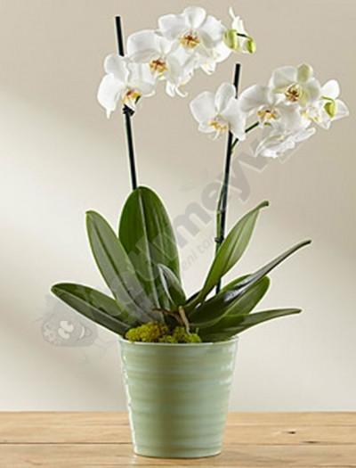 Çift dalli beyaz orkide